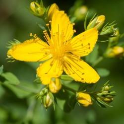 Echte Johanniskraut Samen Heilpflanze  - 3