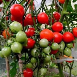 Semillas de tomate GERANIUM...