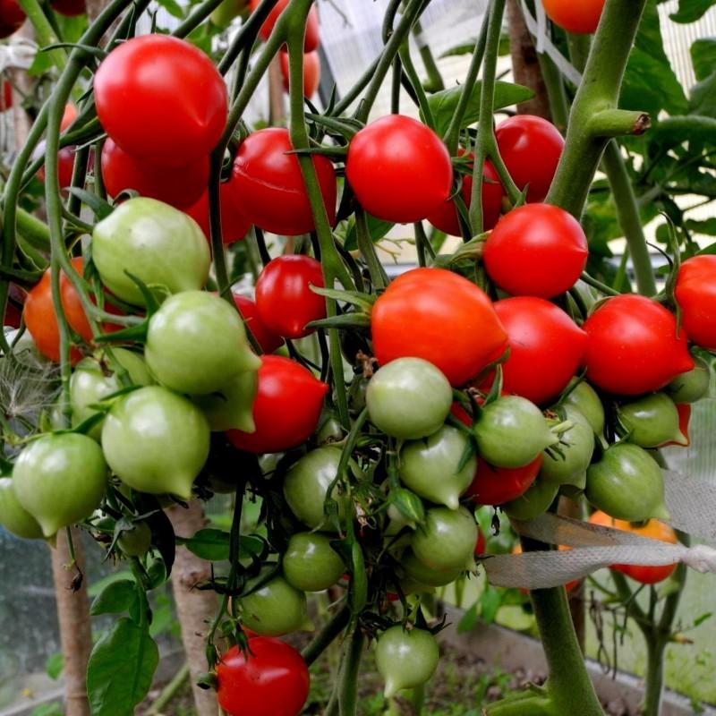 Graines de Tomate GERANIUM KISS Seeds Gallery - 4