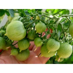 Graines de Tomate GERANIUM KISS Seeds Gallery - 2