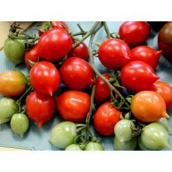 Graines de Tomate GERANIUM KISS Seeds Gallery - 3