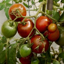 Black Prince Tomate Samen  - 3