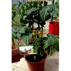 Seme mini paradajza CANDYTOM Seeds Gallery - 1