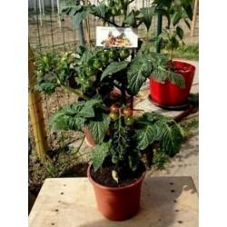 Seme mini paradajza CANDYTOM Seeds Gallery - 4