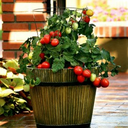 CANDYTOM Tomatensamen - Ideal für wohnung Seeds Gallery - 6