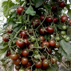 Semillas de tomate Cereza Negro - Black cherry Seeds Gallery - 3