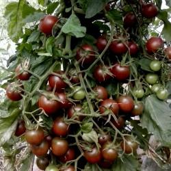 Σπόροι Τομάτα Black Cherry (τοματίνι) Seeds Gallery - 3