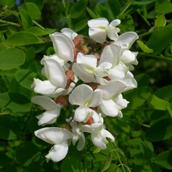 Seme Bagrema (lat. Robinia pseudoacacia)  - 2