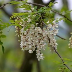 Graines de Robinier faux-acacia ou Acacia  - 3