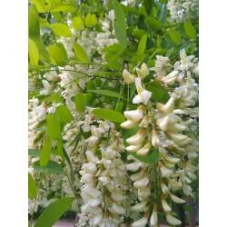 White Wisteria Seeds (Robinia pseudoacacia)  - 4