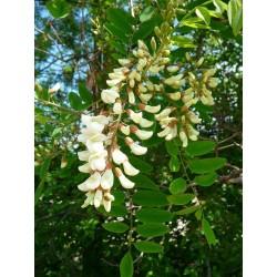 Seme Bagrema (lat. Robinia pseudoacacia)  - 5