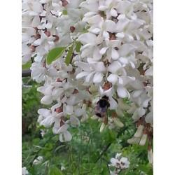 Semi di Robinia o Acacia (Robinia pseudoacacia)  - 6
