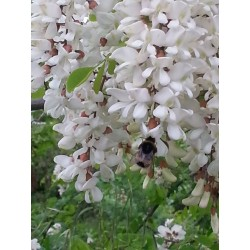 White Wisteria Seeds (Robinia pseudoacacia)  - 6