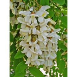 Seme Bagrema (lat. Robinia pseudoacacia)  - 8