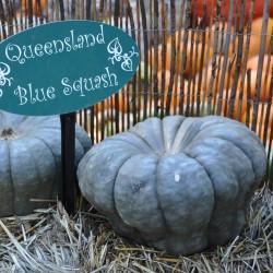 Kürbis Samen Queensland Blau Seeds Gallery - 4