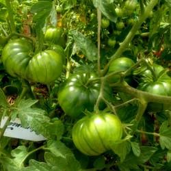 ARBUZNYI (Wassermelone) Tomatensamen Seeds Gallery - 4