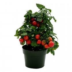 Sementes de tomate anão Vilma