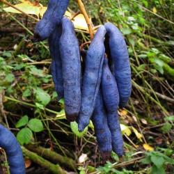 Blue Sausage Seeds Fruit Shrub Decaisnea fargesii  - 3