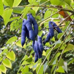 Semillas Banana Azul (Decaisnea fargesii)  - 4
