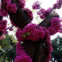 Judas tree Seeds (Cercis siliquastrum) Seeds Gallery - 1