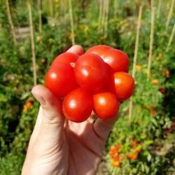 Graines de Tomate VOYAGE Seeds Gallery - 5