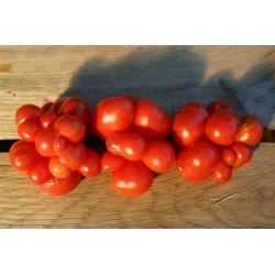 Voyage Paradajz Seme - paradajz putnika Seeds Gallery - 6