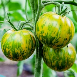 Sementes de tomate Zebra verde (Green Zebra) Seeds Gallery - 2