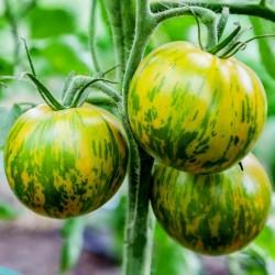 Semillas de tomate Cebra verde (Green Zebra) Seeds Gallery - 2