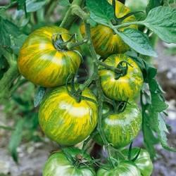 Semillas de tomate Cebra verde (Green Zebra) Seeds Gallery - 3