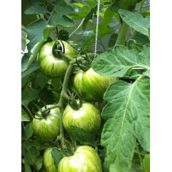 Semillas de tomate Cebra verde (Green Zebra) Seeds Gallery - 4