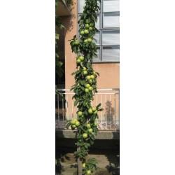 Granny Smith Apple Seeds (Malus sylvestris)