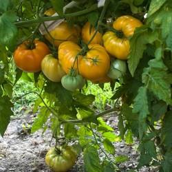 Tomatensamen Orange Ochsenherz Seeds Gallery - 2