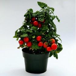 Balkonzauber paradajz seme  - 3