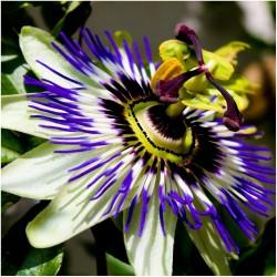 Passionsblomssläktet Frö (Passiflora caerulea)  - 1