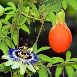 Passionsblomssläktet Frö (Passiflora caerulea)  - 2