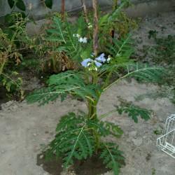 Litchi Tomatensamen - Lulita (Solanum sisymbriifolium) Seeds Gallery - 8