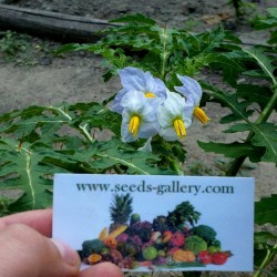 Litchi Paradajz Seme (Solanum sisymbriifolium) Seeds Gallery - 9