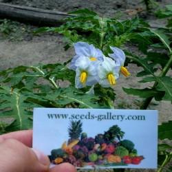 Semi di Pomodoro del Litchi (Solanum sisymbriifolium) Seeds Gallery - 9