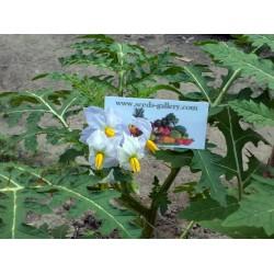 Semi di Pomodoro del Litchi (Solanum sisymbriifolium) Seeds Gallery - 10