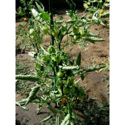 Graines de tomate Fiaschetto Seeds Gallery - 6