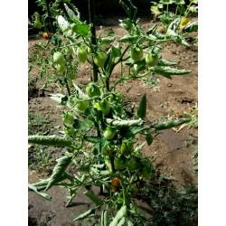 Σπόροι ντομάτας Fiaschetto Seeds Gallery - 6