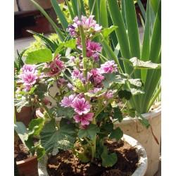 Wilde Malve Samen Heilpflanze (Malva sylvestris)  - 2