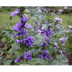 Crni Divlji Slez seme (Malva sylvestris)  - 3