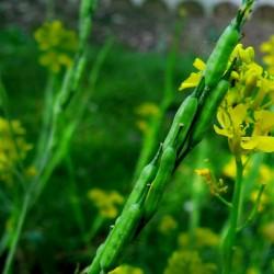 Svartsenap frön (Brassica nigra)  - 3
