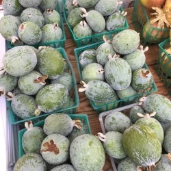 Feijoa, Pineapple Guava Seeds