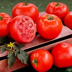 Semi di pomodoro ibrido di alta qualità Lider F1  - 3