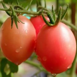 Sementes de tomate tailandeses autênticas Sida  - 4