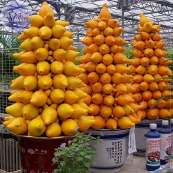 Graines de Pomme-téton (Solanum mammosum)  - 1