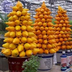 Jabuka Sodome seme (Solanum Mammosum)  - 1