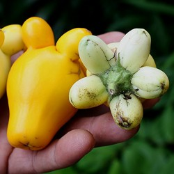 Kuheuterpflanze Samen (Solanum Mammosum)  - 2